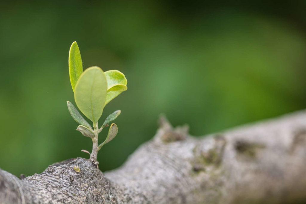 Steckling Olivenbaum