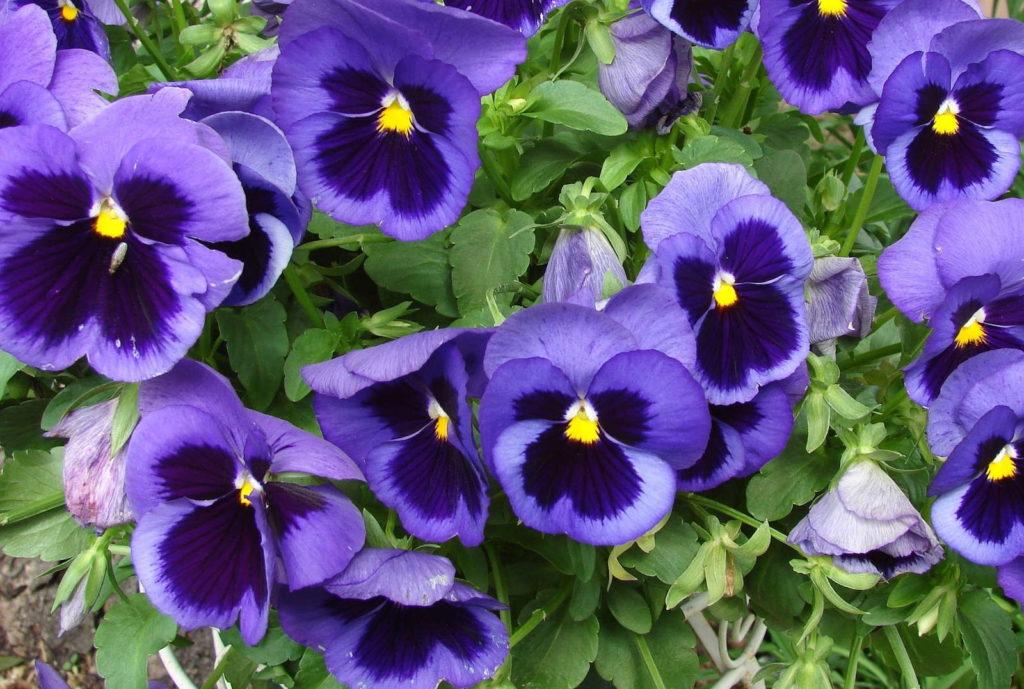 Stiefmütterchen blau violett