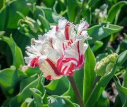 Tulpe Blüte Weiß Pink
