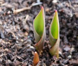 Tulpe Sprießt