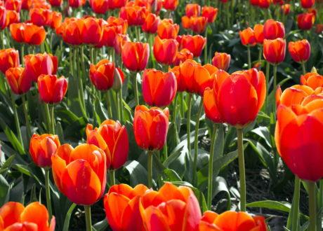 Tulpen Orange Feld