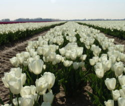 Tulpen Weiß Feld