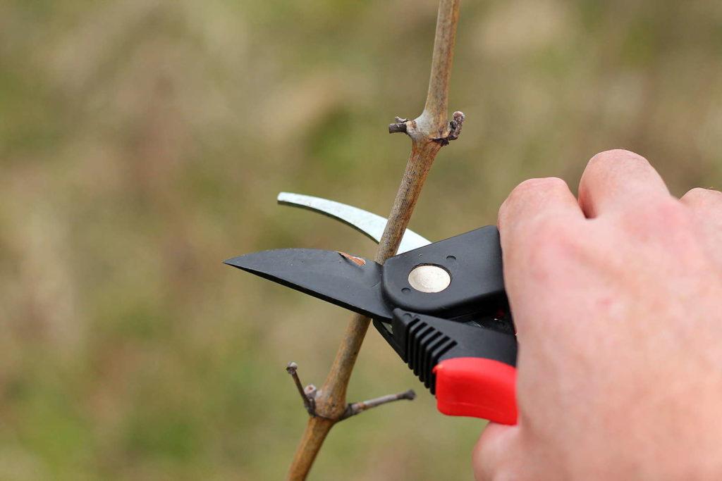 Pflaumenbaum wird im Winter geschnitten