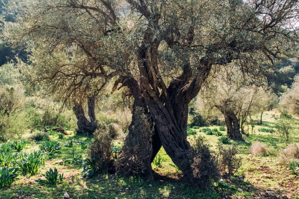 alter Olivenbaum mit Loch im Stamm