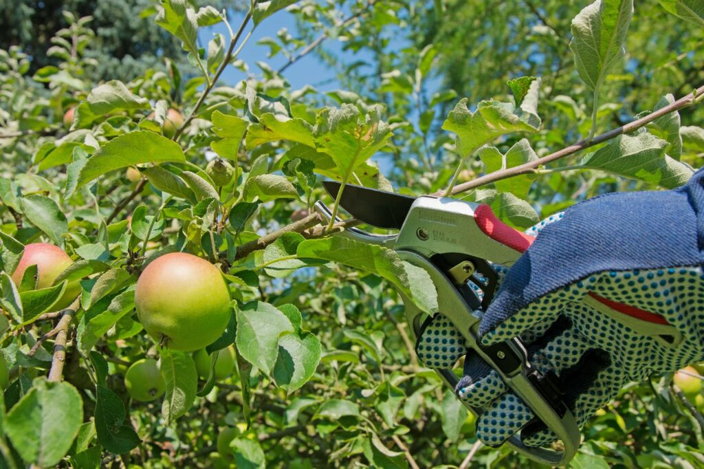 Apfelbaum richtig schneiden