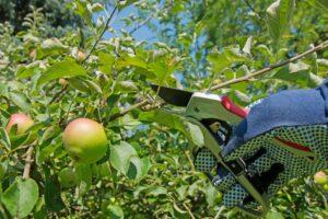 Apfelbaum schneiden: Anleitung vom Experten