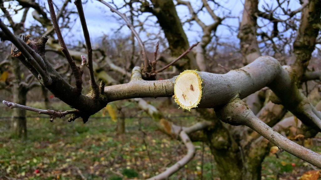 Apfelbaum am alten Holz schneiden