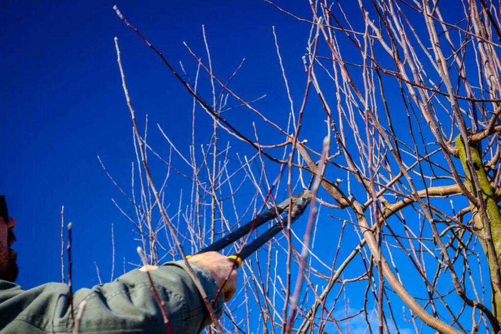 Wassertriebe am Apfelbaum schneiden