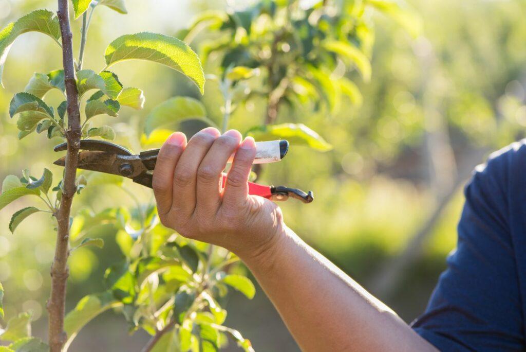Sommerschnitt am Apfelbaum