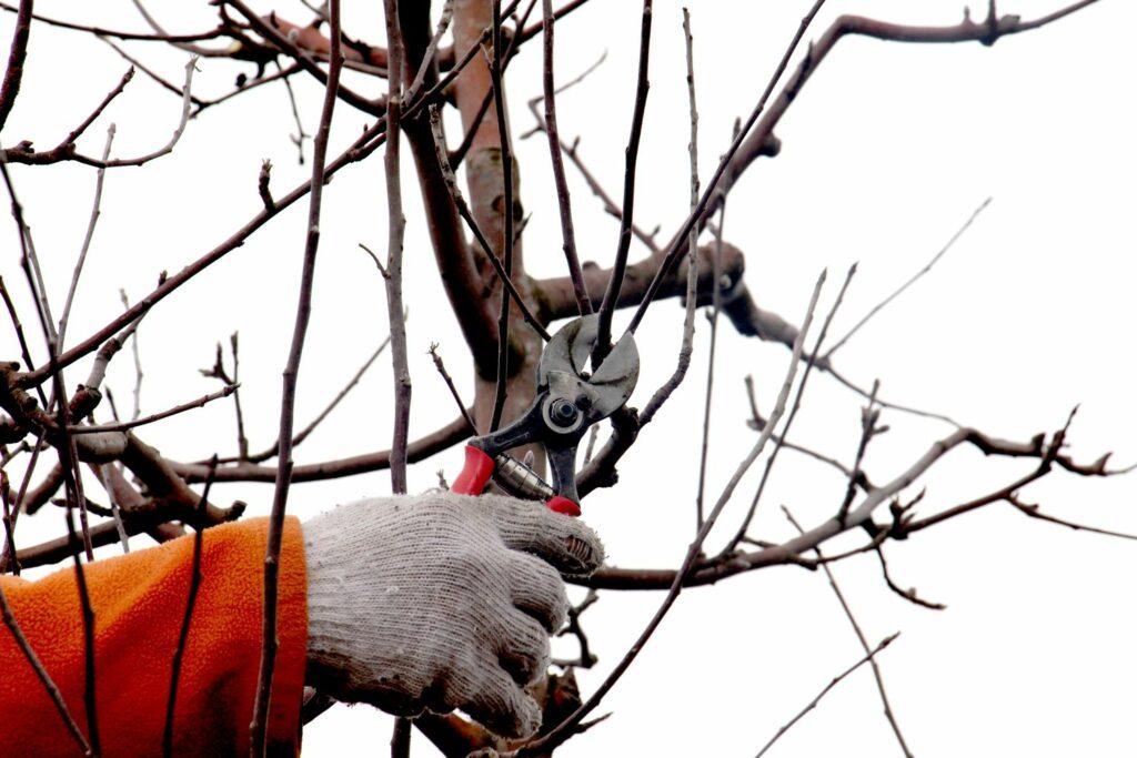 Winterschnitt am Apfelbaum