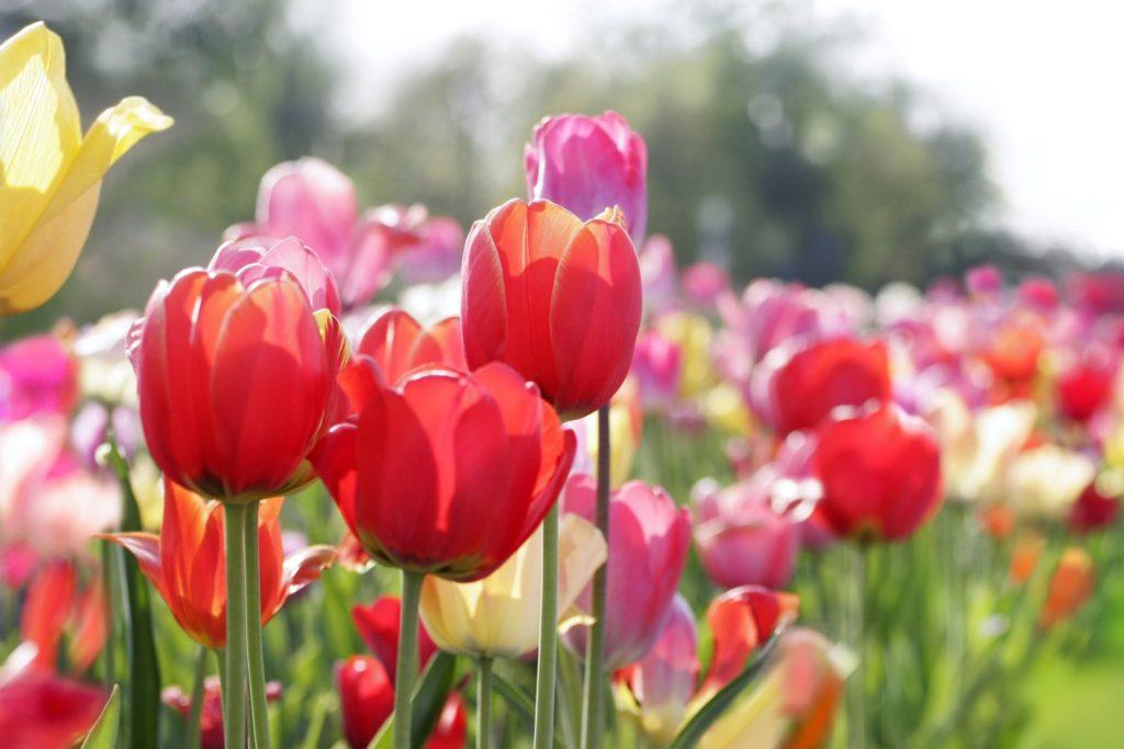 Bunte, blühende Tulpen