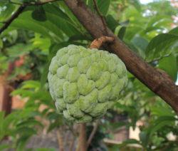Cherimoya Am Baum