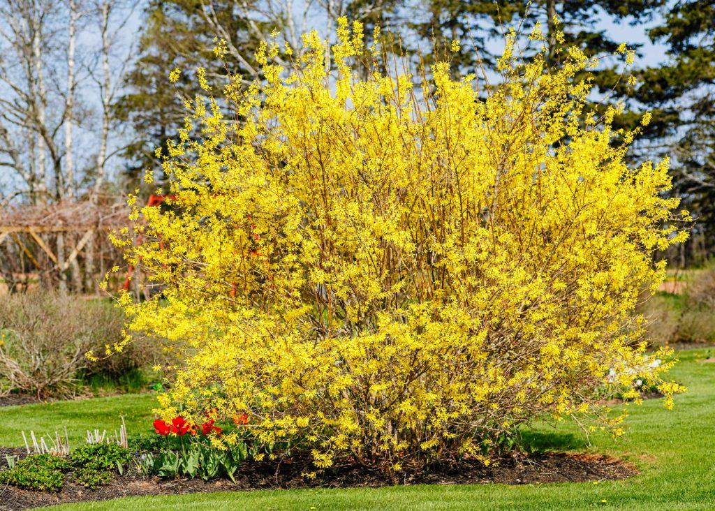 forsythie im Garten mit Tulpen