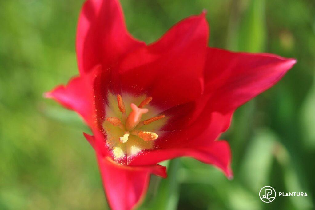 Blüte einer roten Tulpe