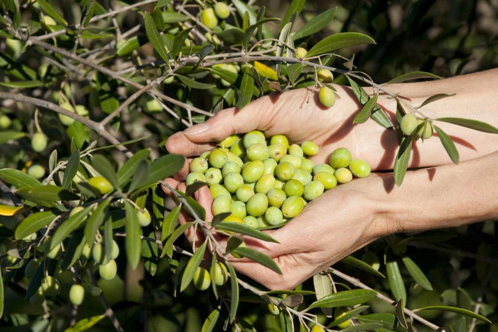 Geerntete Oliven werden in Händen gehalten