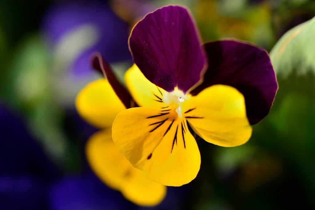 Blüte des Hornveilchens