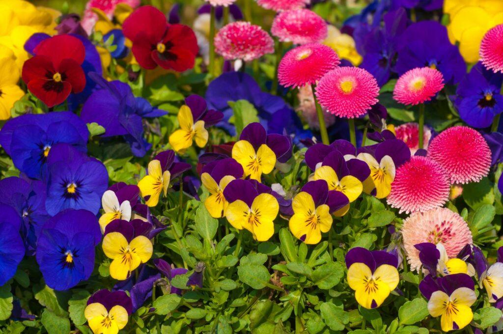 Hornveilchen im Blumenbeet