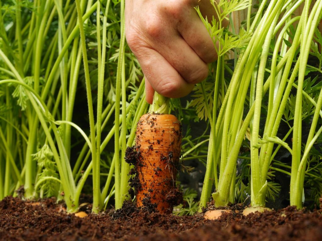 geerntete Karotte