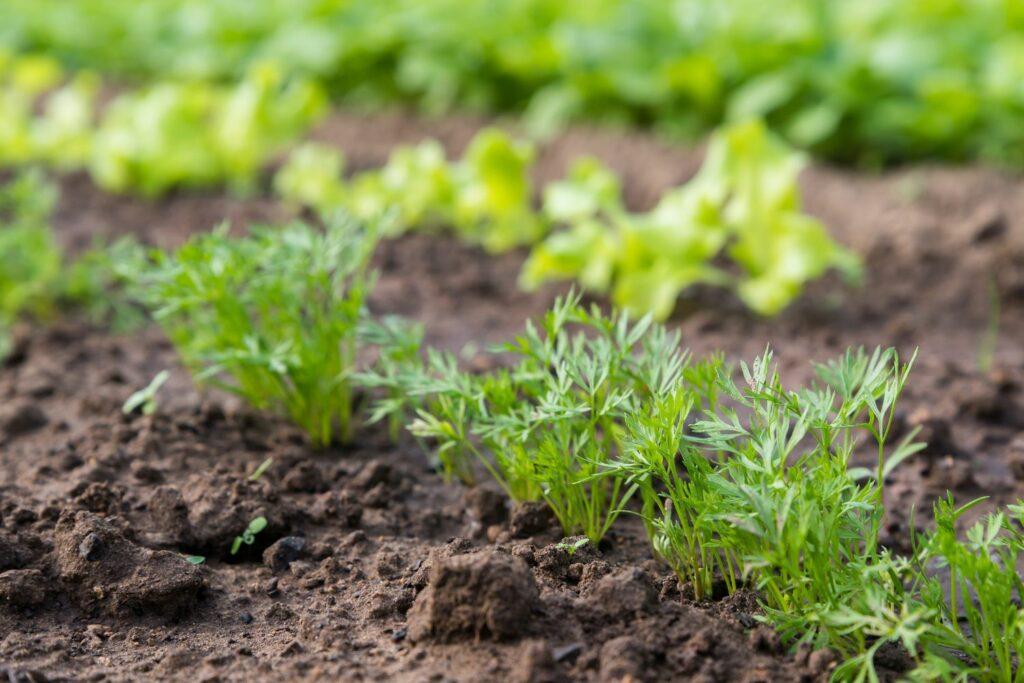 junge Karottenpflanzen