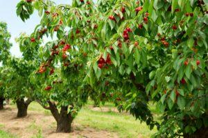 Kirschbäume Im Garten