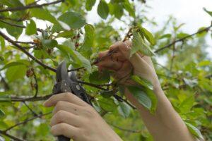 Kirschbaum Wird Mit Gartenschere Geschnitten