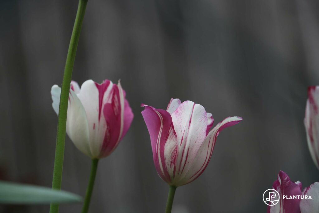 Lila-weiße Tulpen