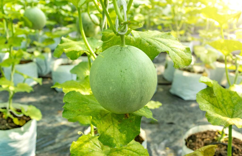 Melonen im Gewächshaus angebaut