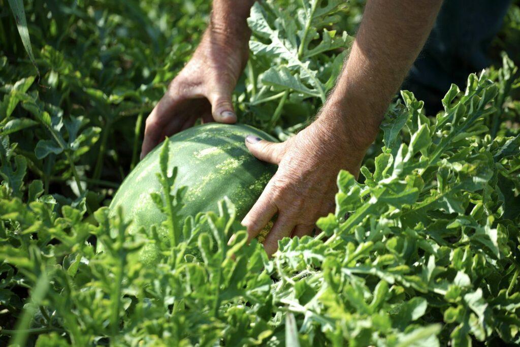 Ernte einer Melone