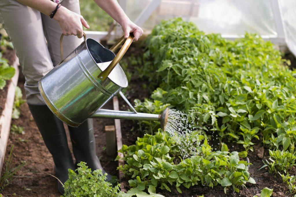 Frau gießt Beet mit Gießkanne