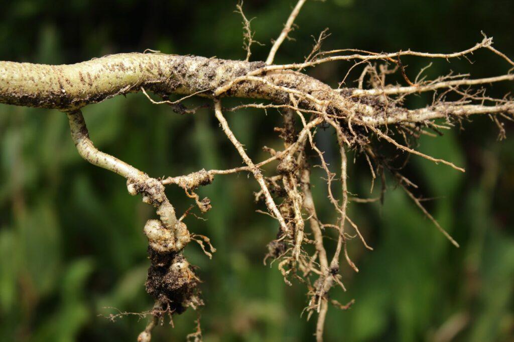 Nematoden an Gemüsewurzeln