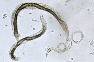 Nematoden: Fadenwürmer als Nützlinge im Garten