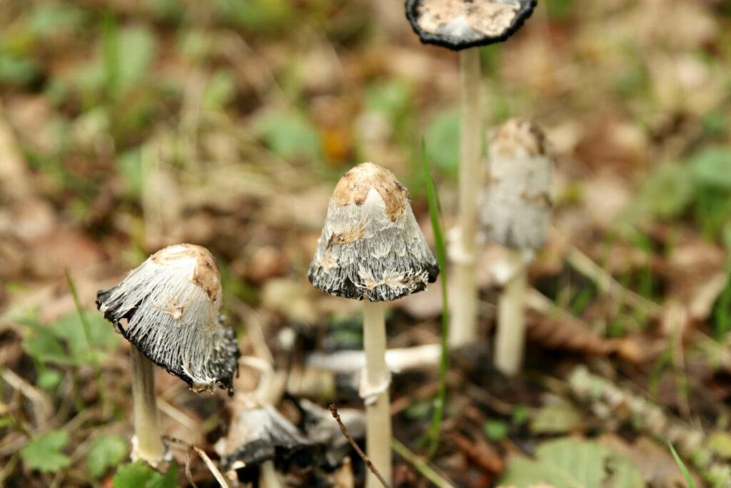 Pilz gegen Nematoden