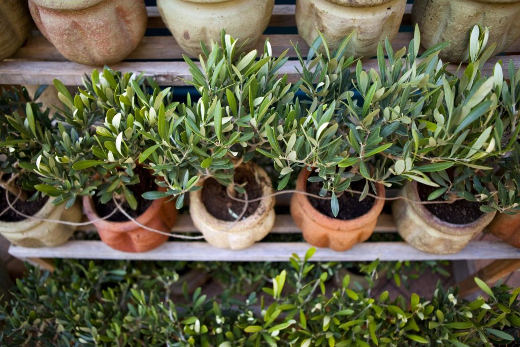 Olivenbäumchen in Töpfen