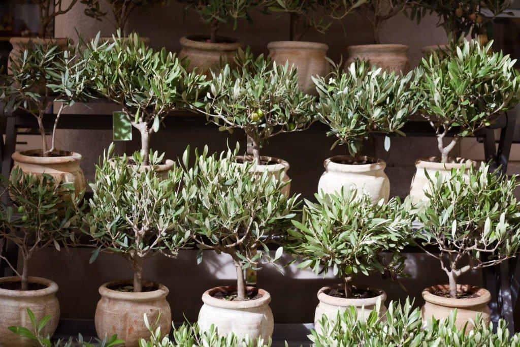 Olivenbäume in einzelnen Töpfen