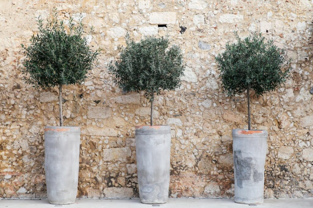 Olivenbäumchen in Terrakottatöpfen vor Hauswand