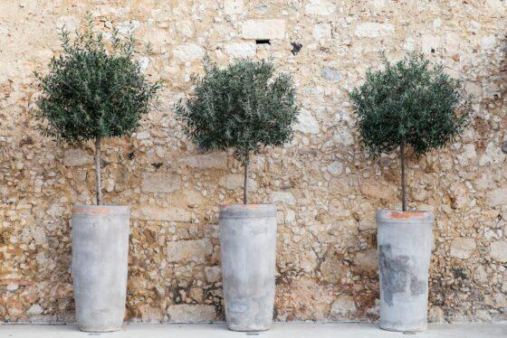 Olivenbaum im Topf: Pflege, Überwintern & Co.