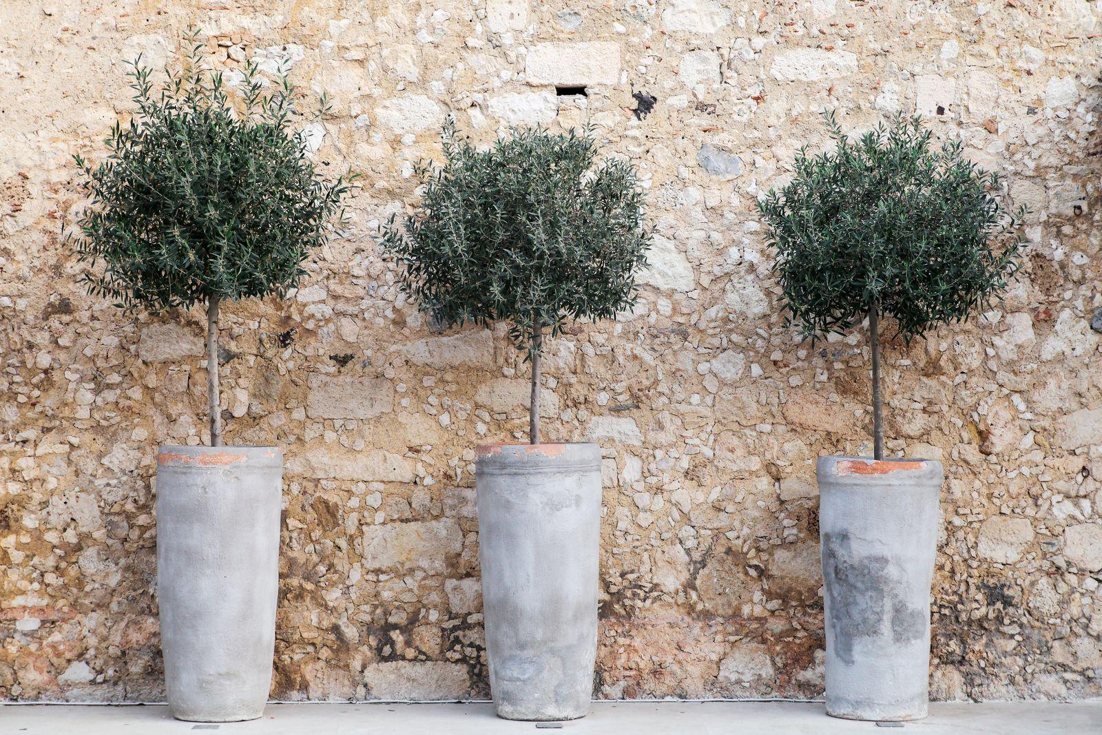 wachstum olivenbaum