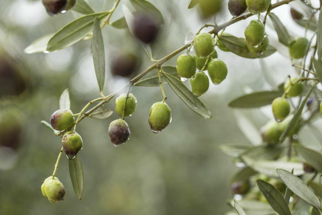 Gießen des Olivenbaums