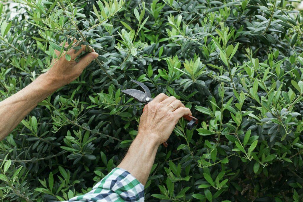 Rückschnitt des Olivenbaums