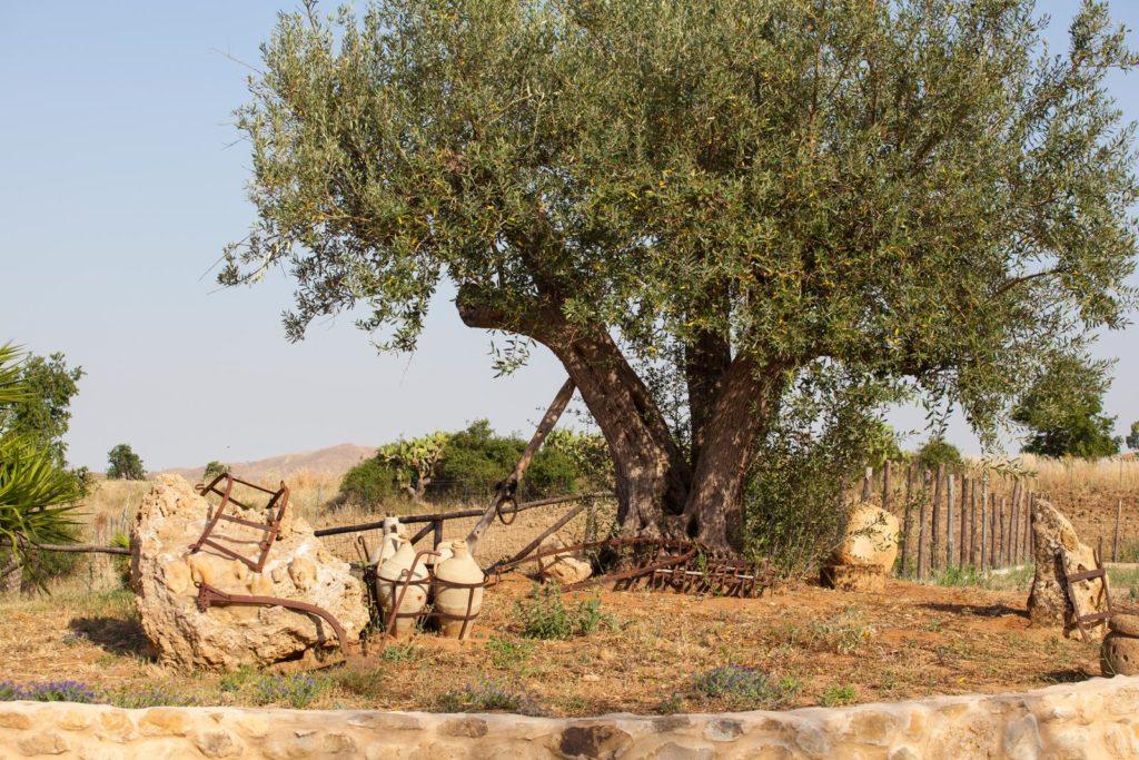 Ausgewachsener Olivenbaum