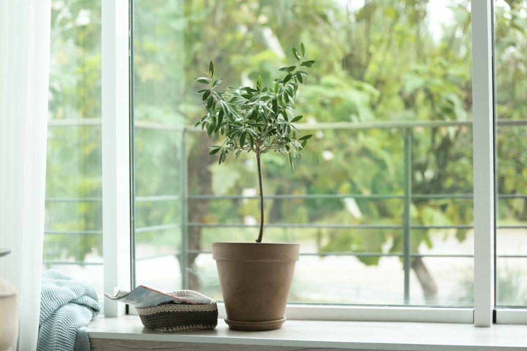 richtiger Standort für Olivenbaum