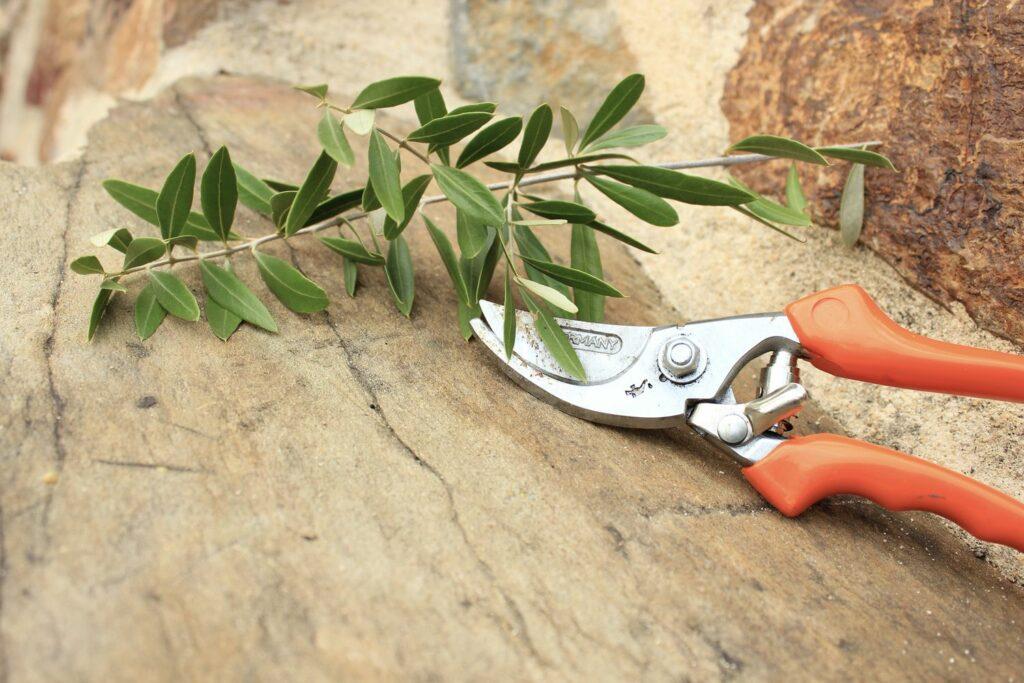 Vermehrung des Olivenbaums
