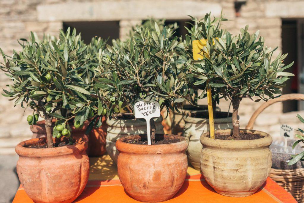 Verkauf von Olivenbäumchen in Töpfen
