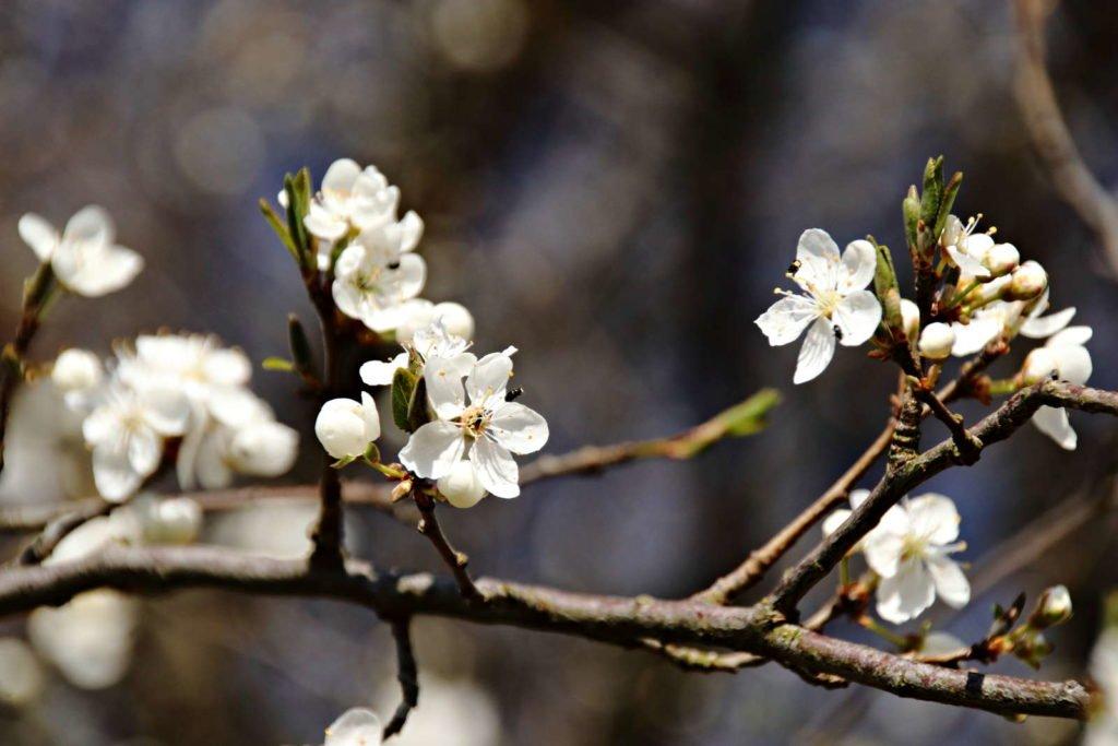 weiße Blüten an einem Pflaumenbaum