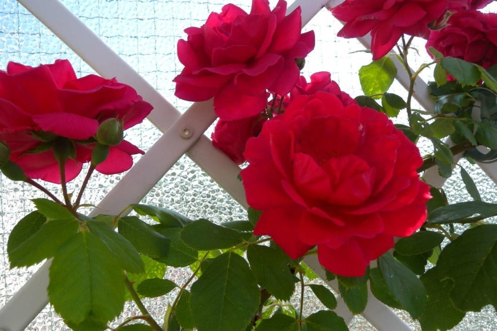 Rote Rosen mit Rankgerüst