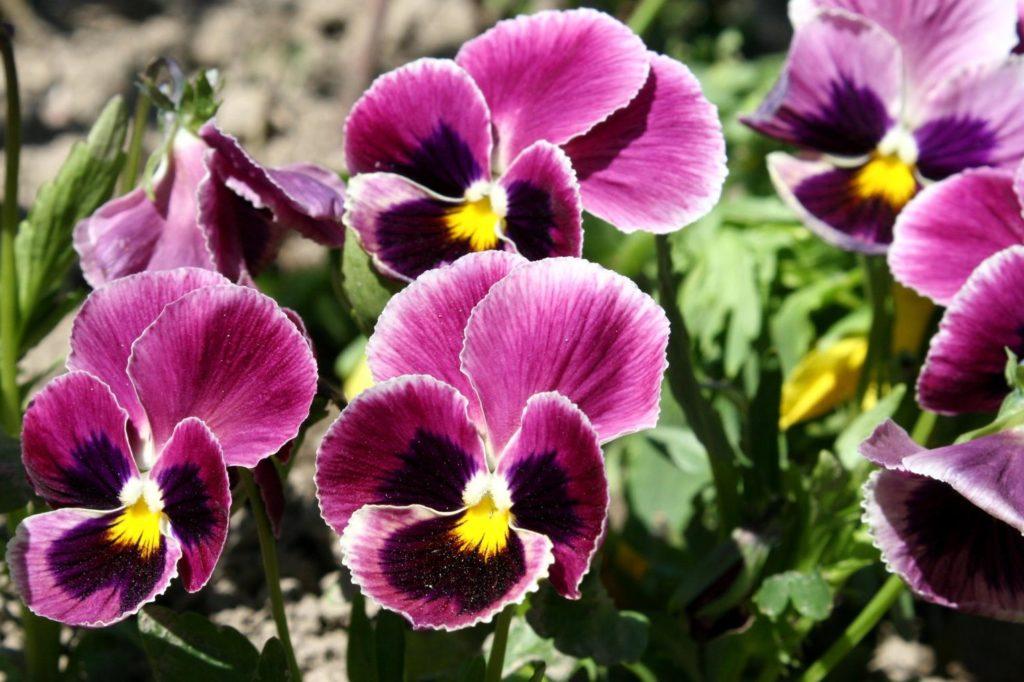 Rot-violettes Stiefmütterchen