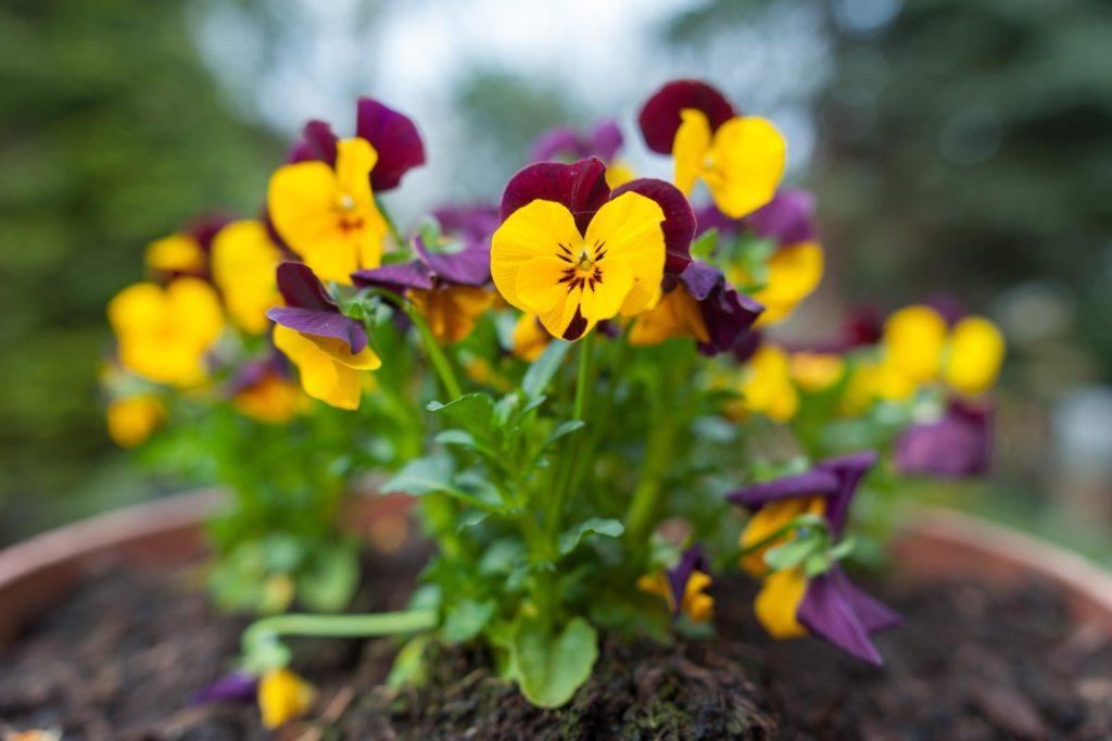 Gelb-violettes Stiefmütterchen