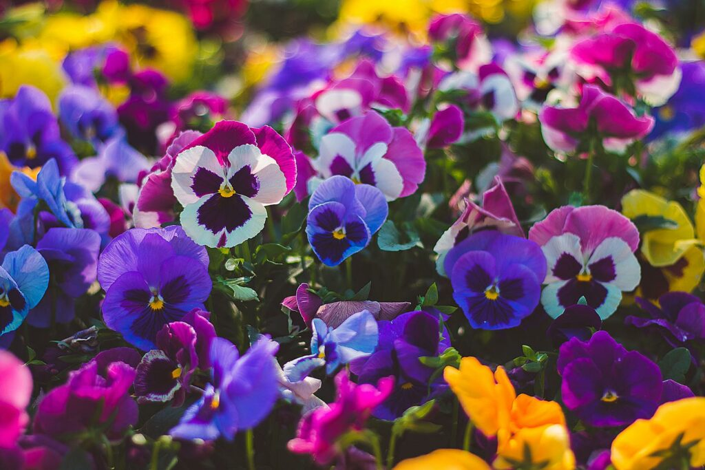 STiefmütterchen blühen in verschiedenen Farben
