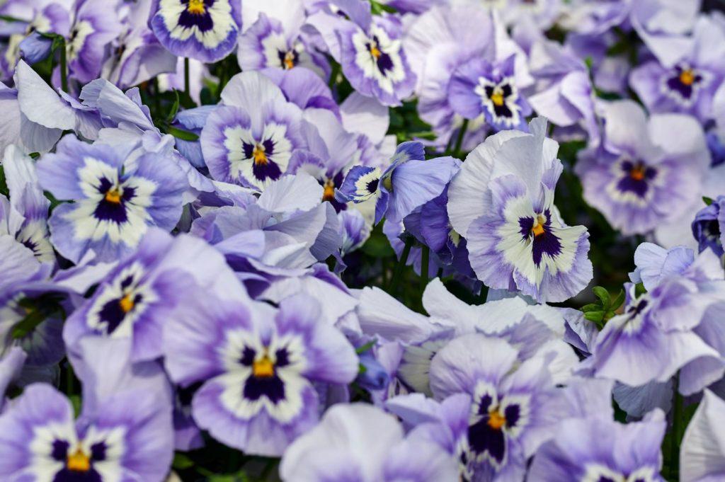 Violette,marmorierte Stiefmütterchen