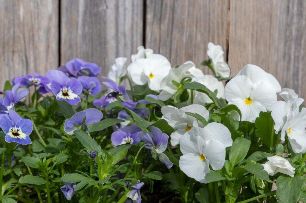 Stiefmütterchen in weiß und violett